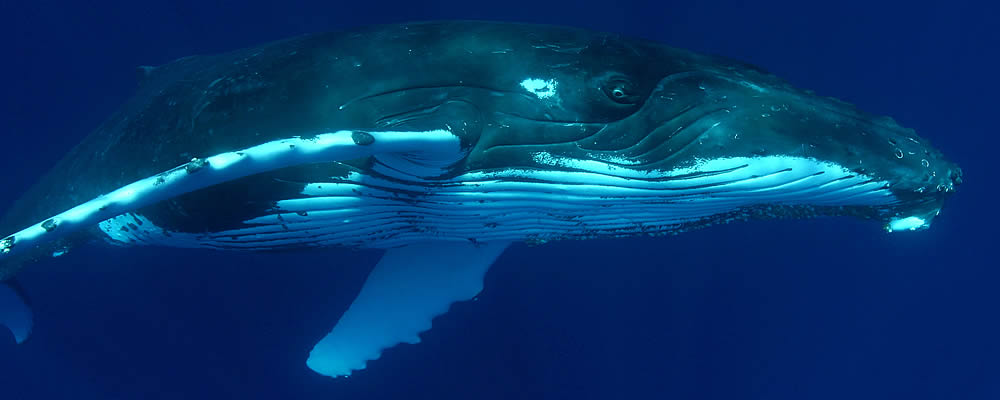 Image of Humbacked Whale under water