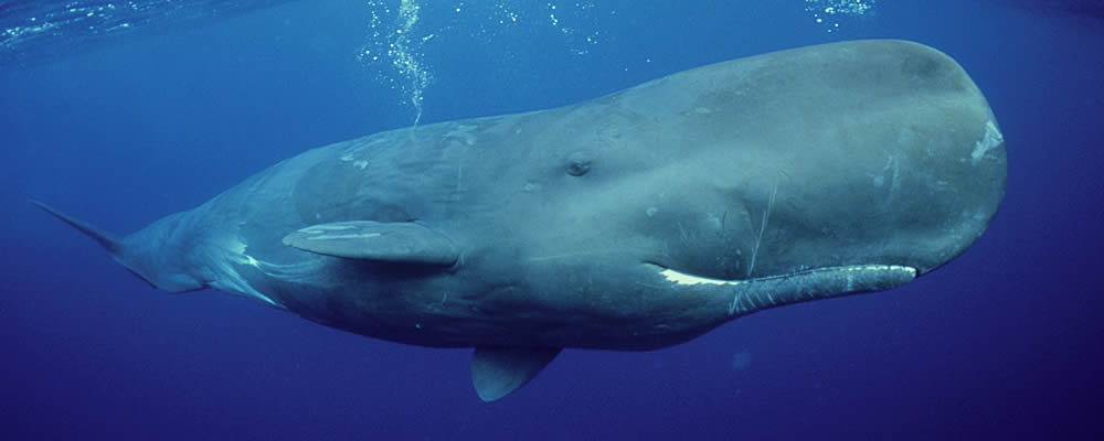 Image of Sperm Whale under water