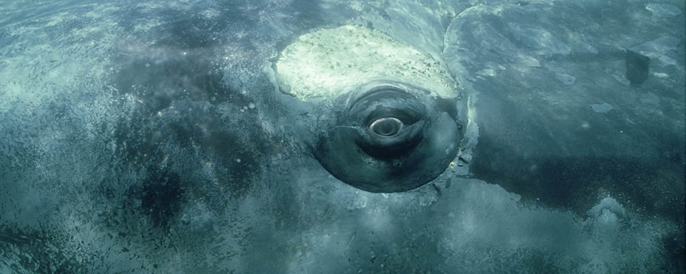 Image of Whale under water