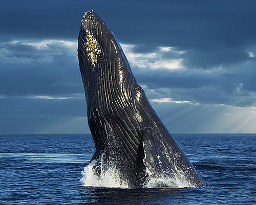 blue whale breathing wwwpixsharkcom images galleries