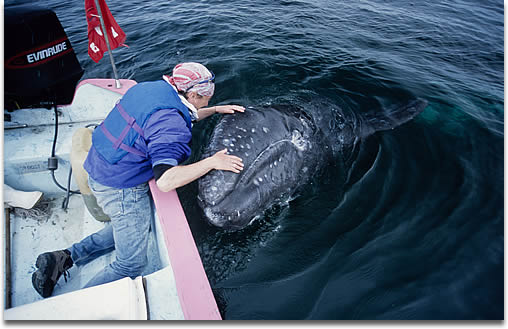 Image of a Gray Whale Calf next to boat