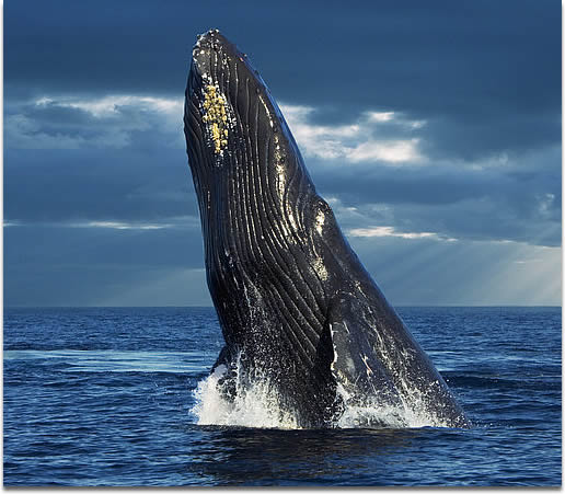 Image of a Humpback Whale Breaching