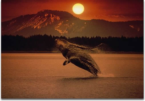 Image of Humpbacked whale breaching in Alaska