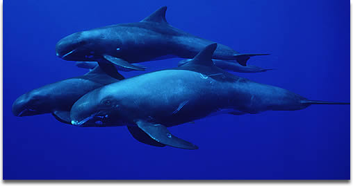 Image of a pod of Long Finned Pilot Whale under water.