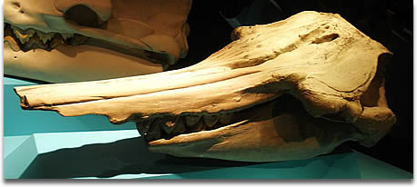Image of the Fossil of Squalodon, an extinct whale Took the photo at Musee d'Histoire Naturelle, Brussels
