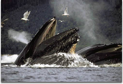 Image of a Humpback Whale feeding.